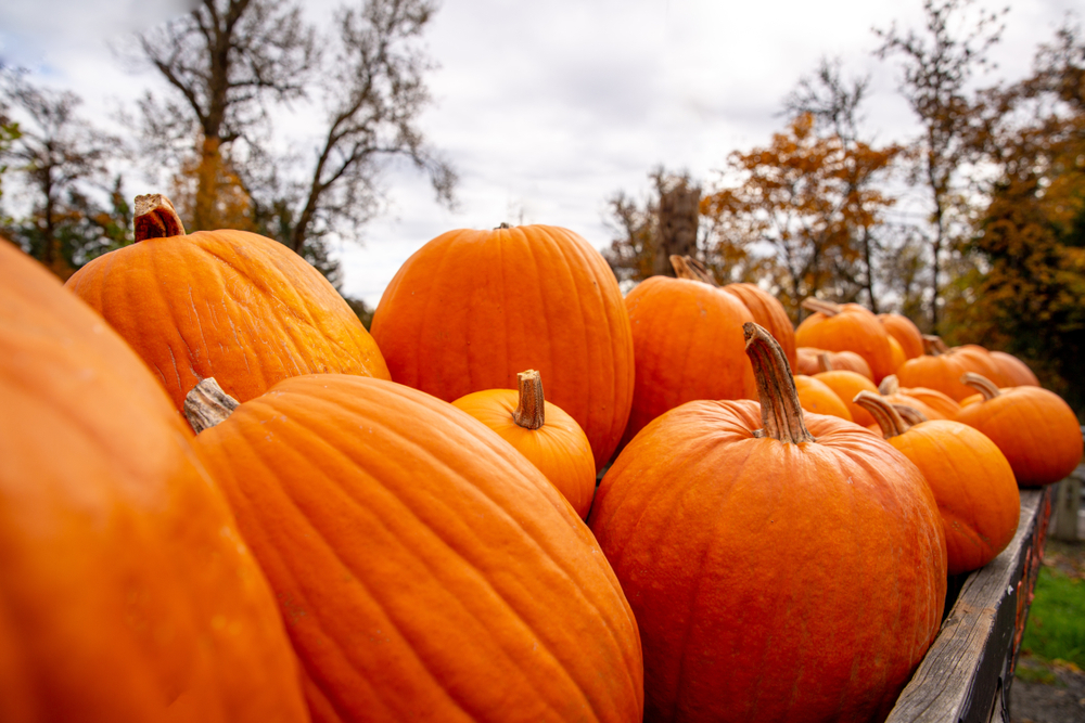 Fresh pumpkins on a truck ready for Halloween. Photographed shallow depth of field